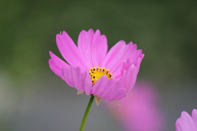 cosmos-flower-433424_640